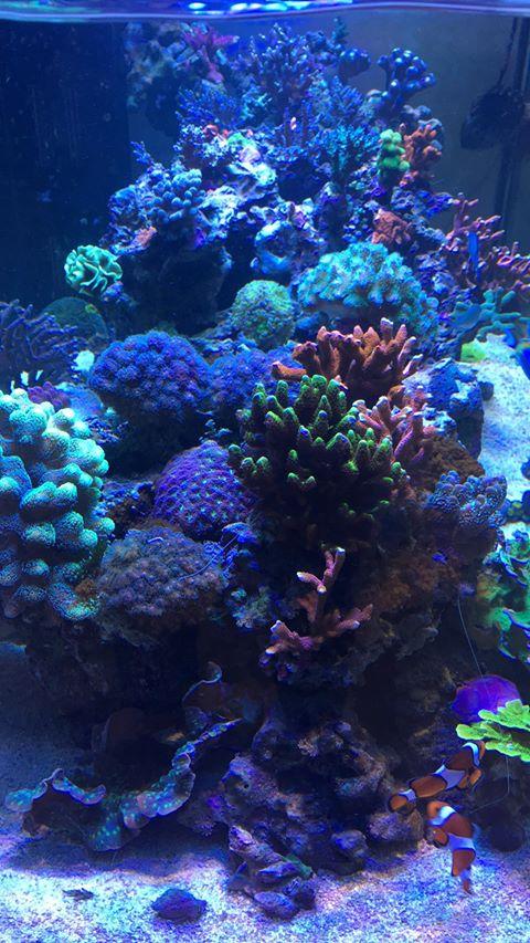 orphek melhor recife aquário levou iluminação