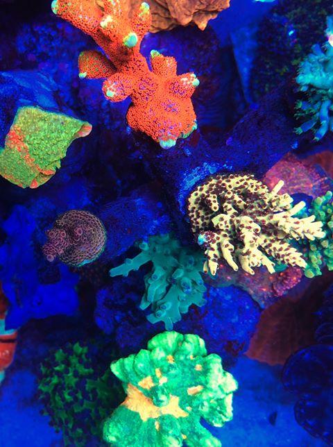 תאורת אקווריום אלמוגים צבעוניים