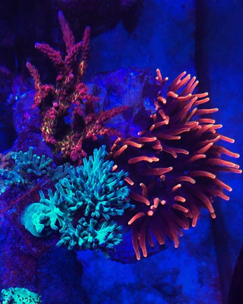 red and blue lps corals