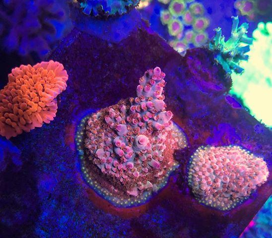 lps אלמוגים תאורת אקווריום בשונית