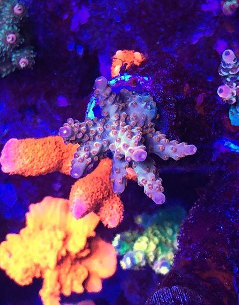 אלמוגים יפים של אקווריום סגול