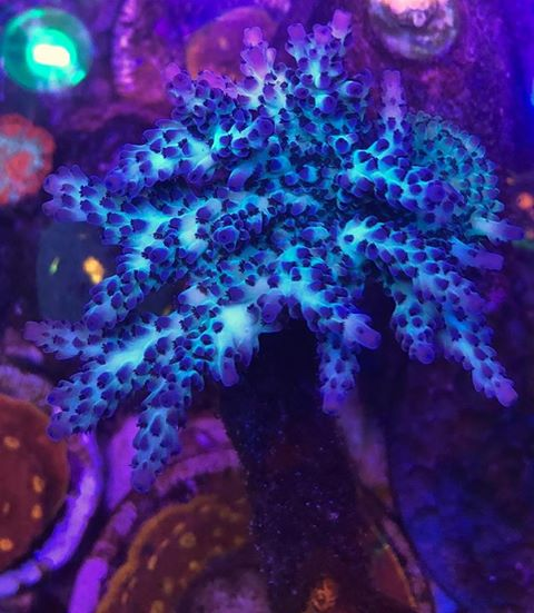 orphek lighting for colorful corals