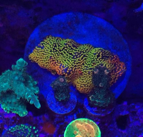 best colorful lps corals LED lighting 2020