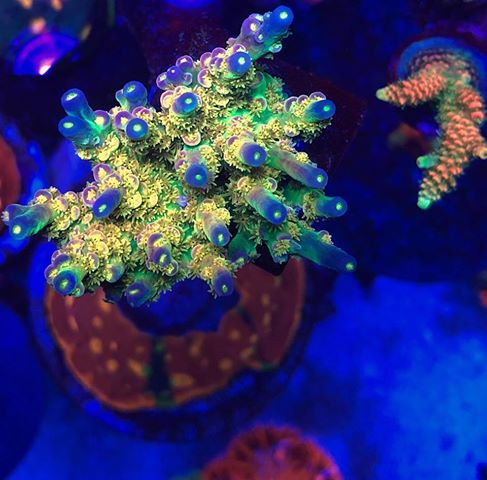 beautiful LPS corals