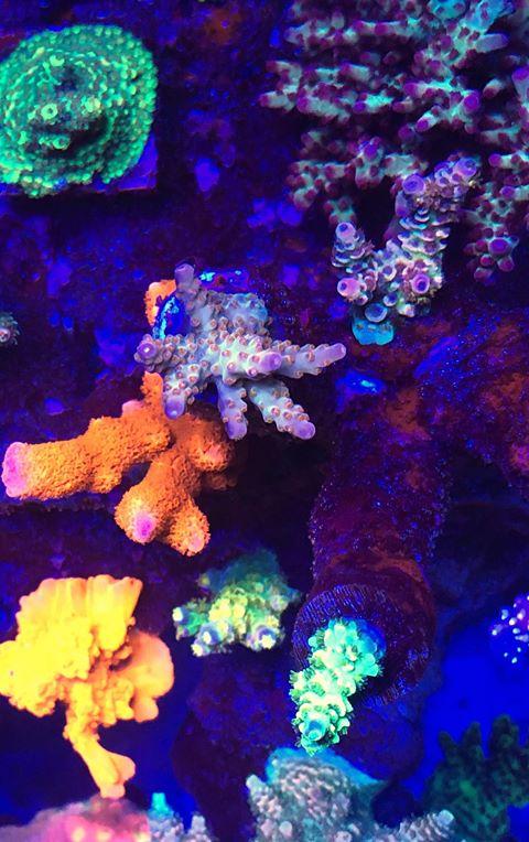 צבעי אלמוגים יפים