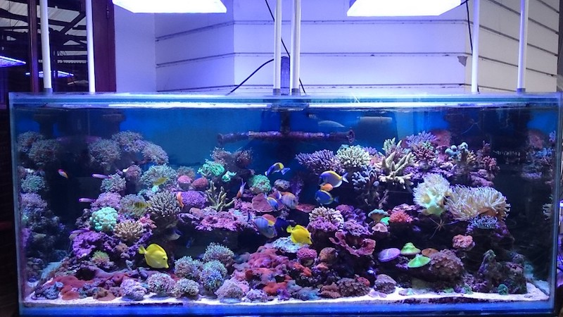 illuminazione pubblica dei coralli dell'acquario