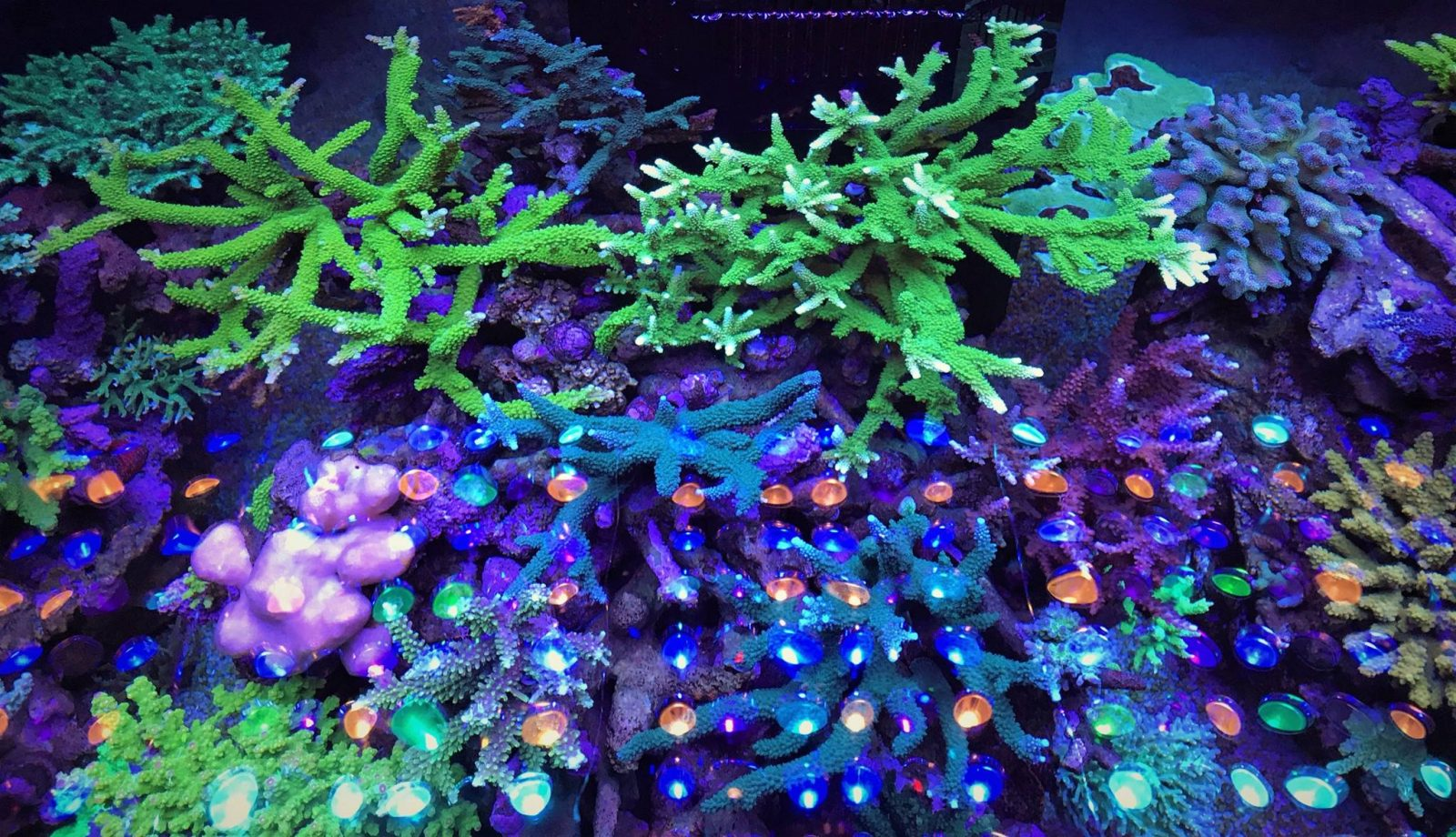 orphek saltvatten akvarium belysning
