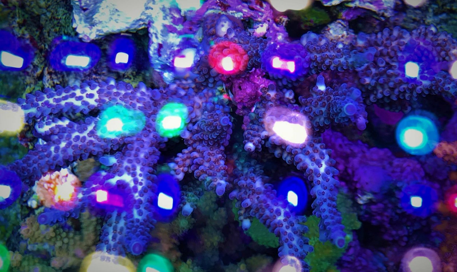 coral pop mejor luz led orphek