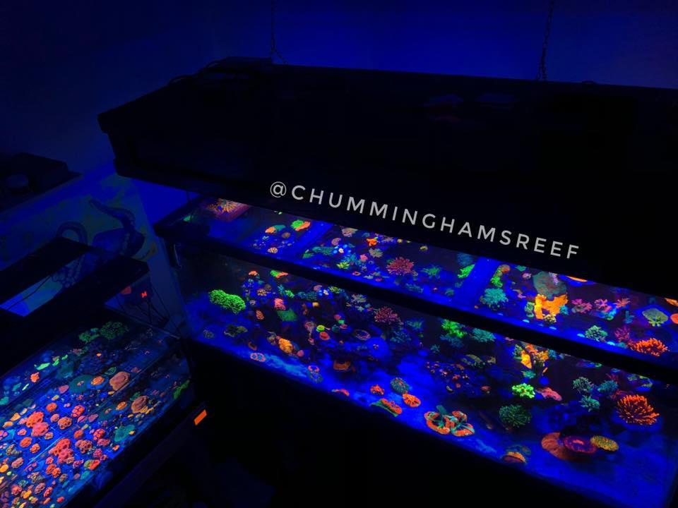 corais de aquário de recife ligting 2020