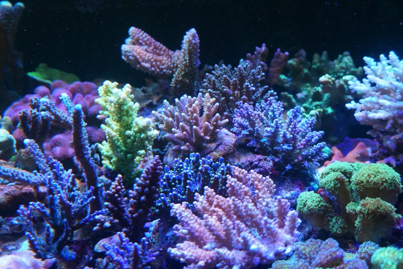 colorful reef corals aquarium