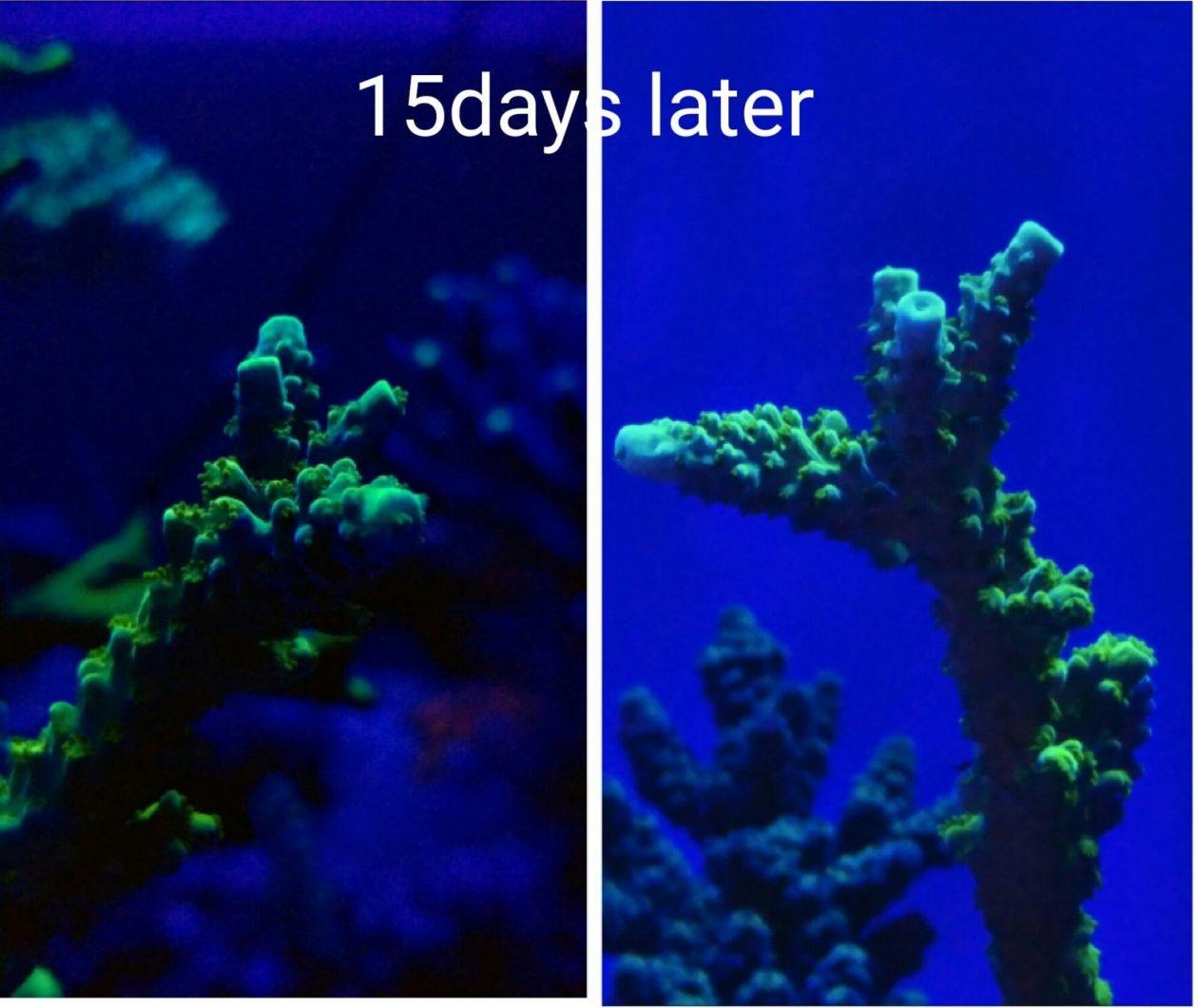 ορφανό atlantik v4 πάνω από κοράλλια δεξαμενών υφάλου