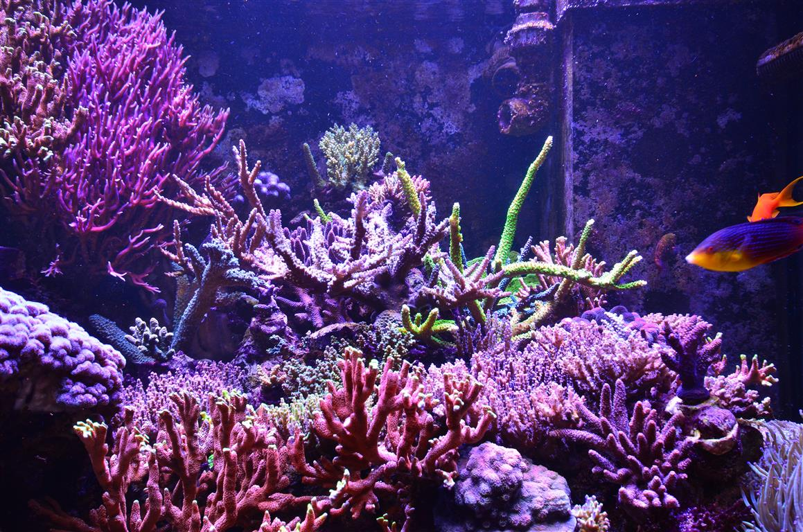 colorful lps corals aquarium