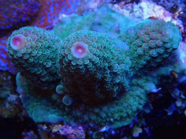 الشعاب المرجانية lps المرجانية الجميلة lps