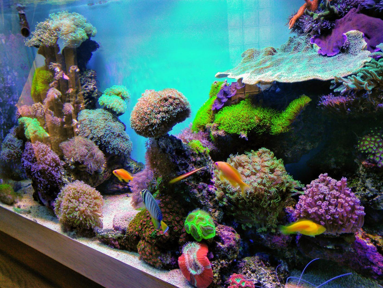 惊人的多彩sps珊瑚缸