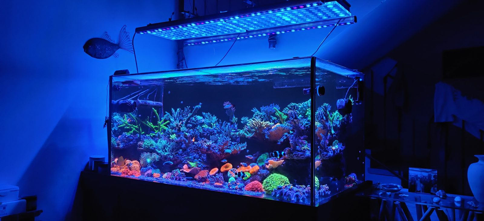 Coral pop with Orphek OR3 Blue Plus LED Bar