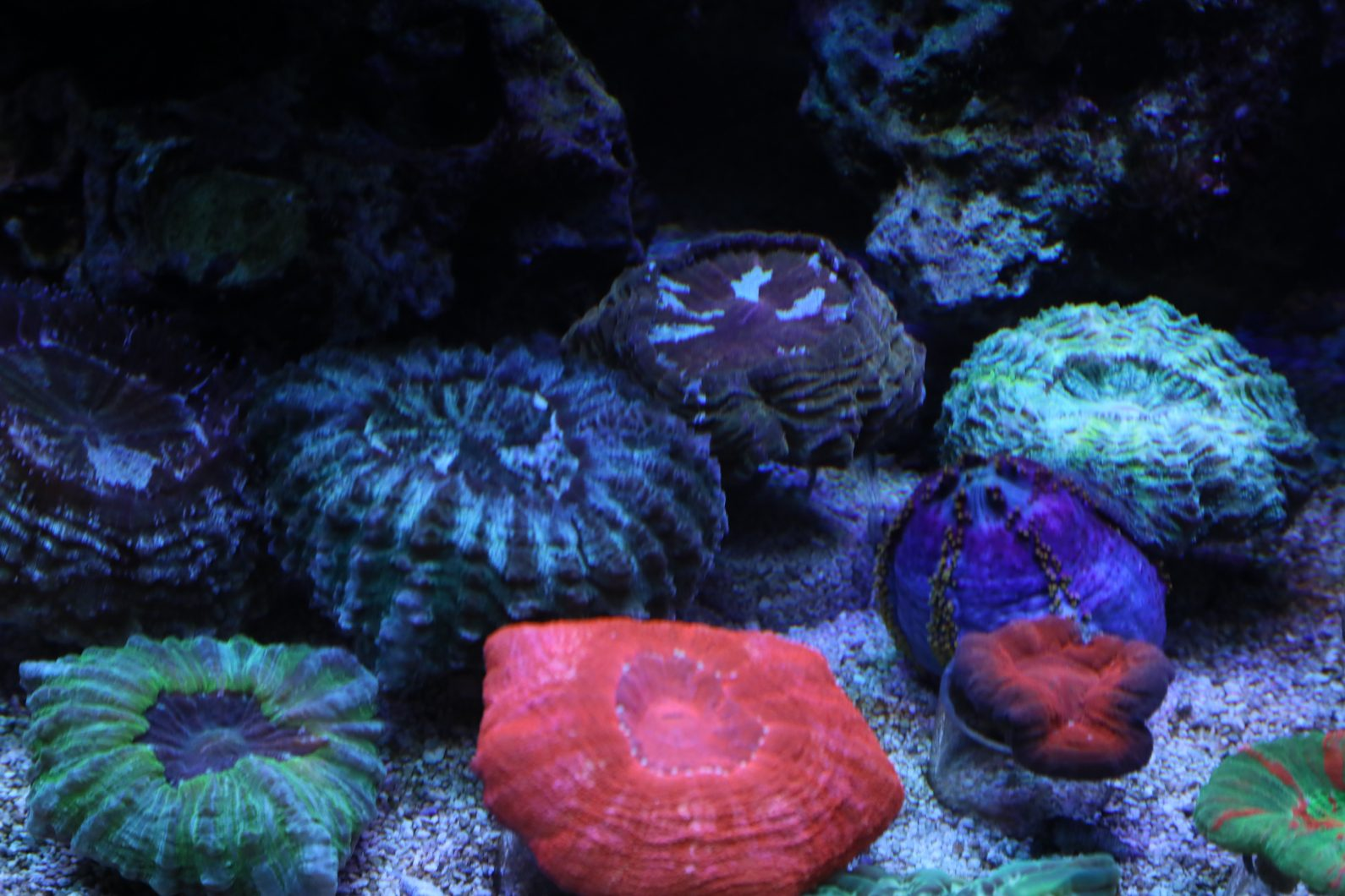 colorful reef lps corals
