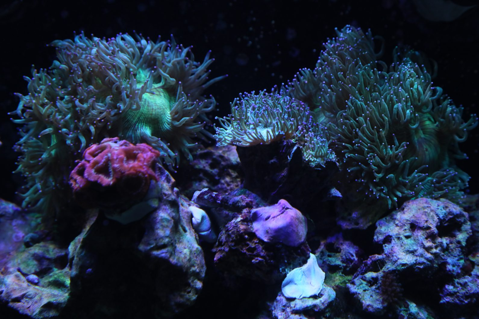 colorful beautiful reef sps corals