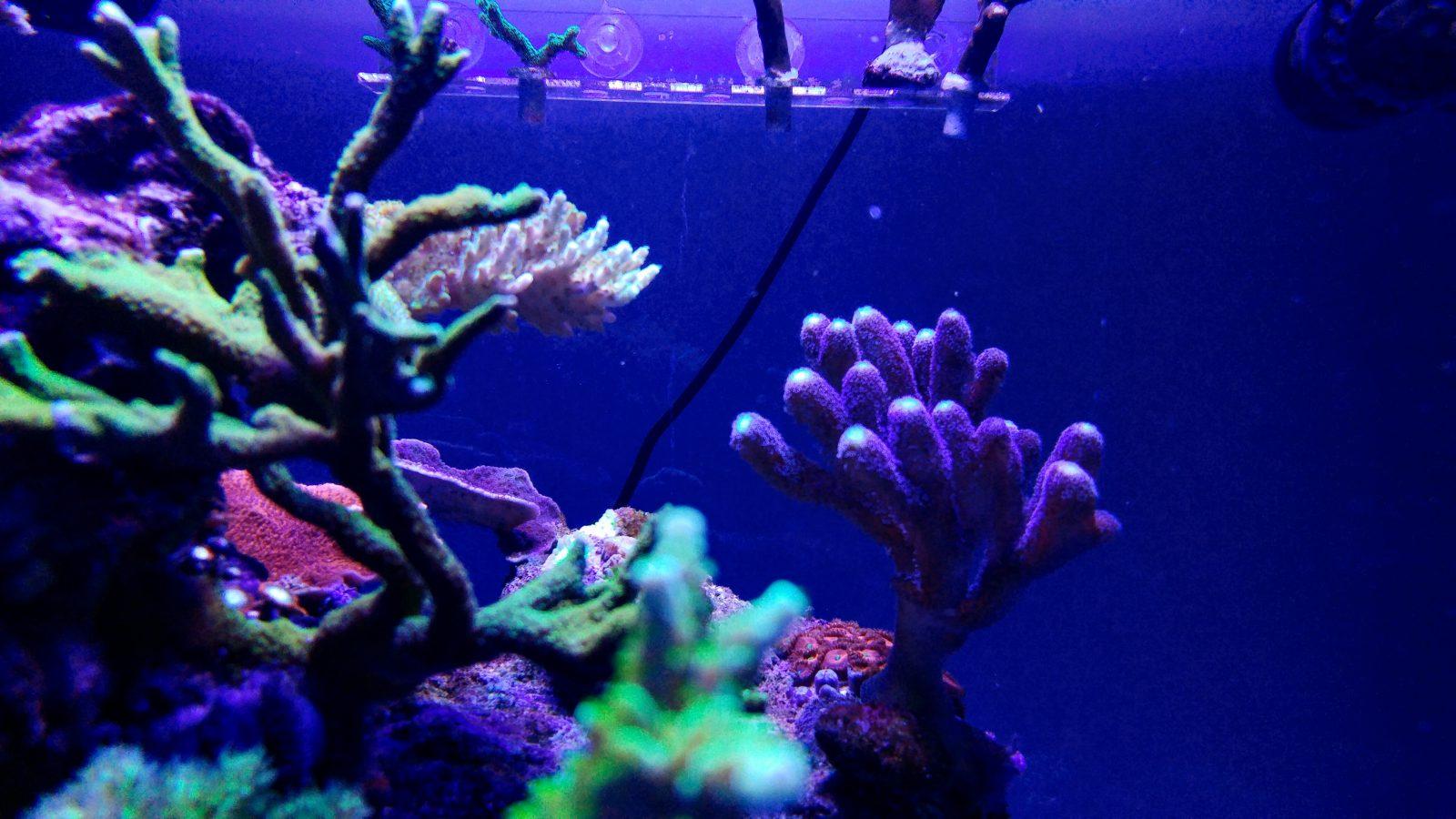όμορφο κοράλλι ποπ από φωτισμό LED ορφανού