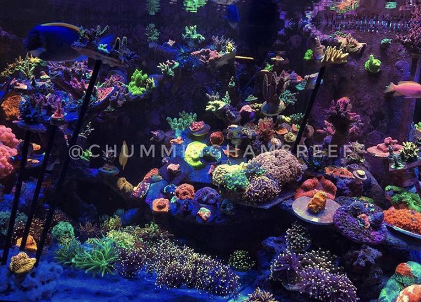 melhor pop de coral de aquário levou orphek atlantik