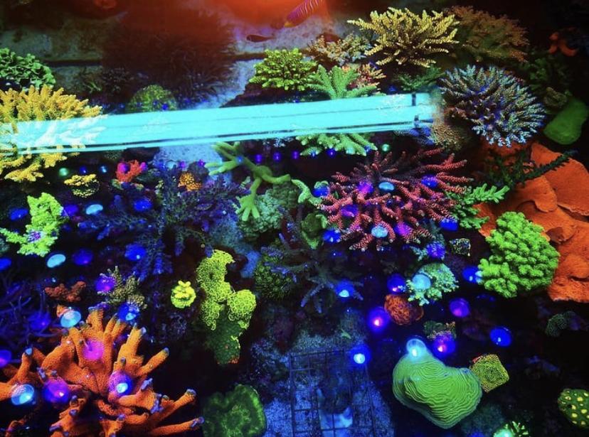 niezwykle kolorowe akwarium rafowe