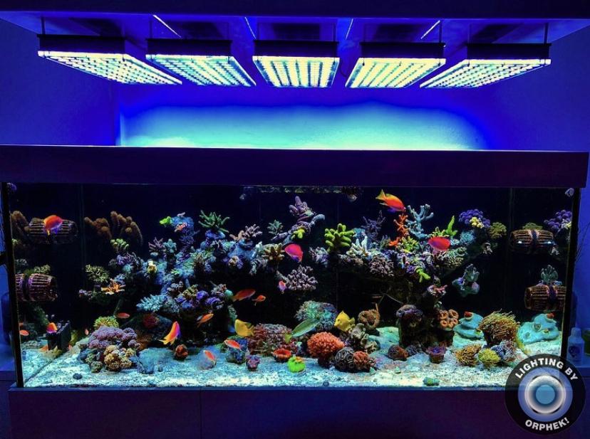 coral crescente luzes do aquário