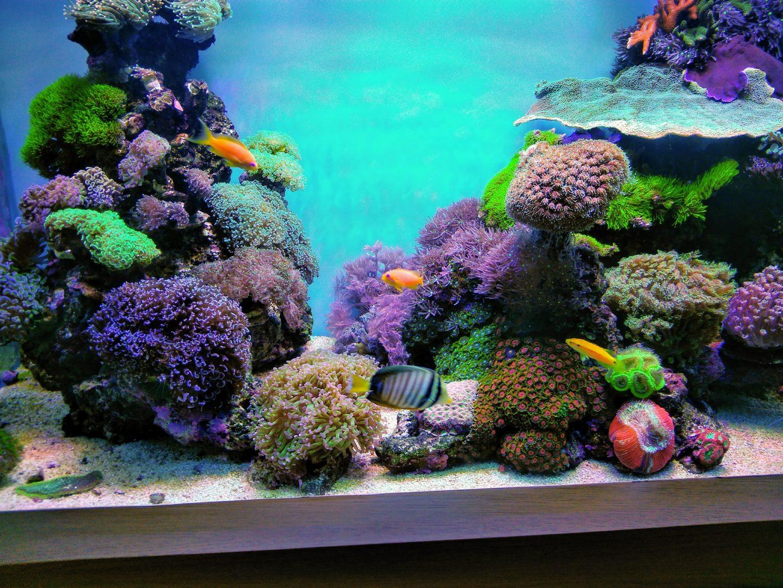 美丽的珊瑚最好带领照明Orphek