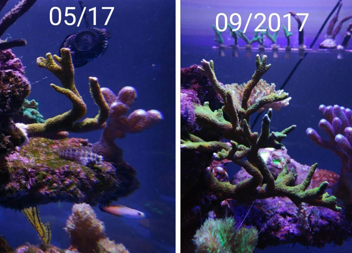 κοραλλιογενή ύφαλο ποπ led led