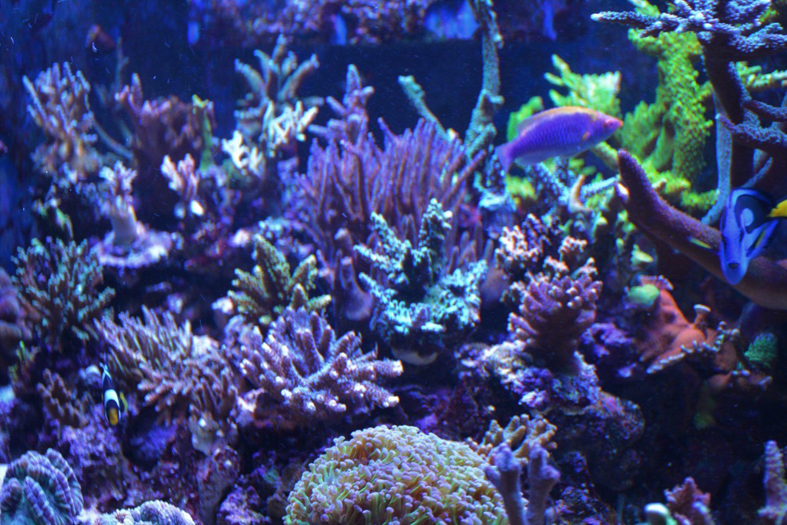 الشعاب المرجانية الملونة حوض السمك