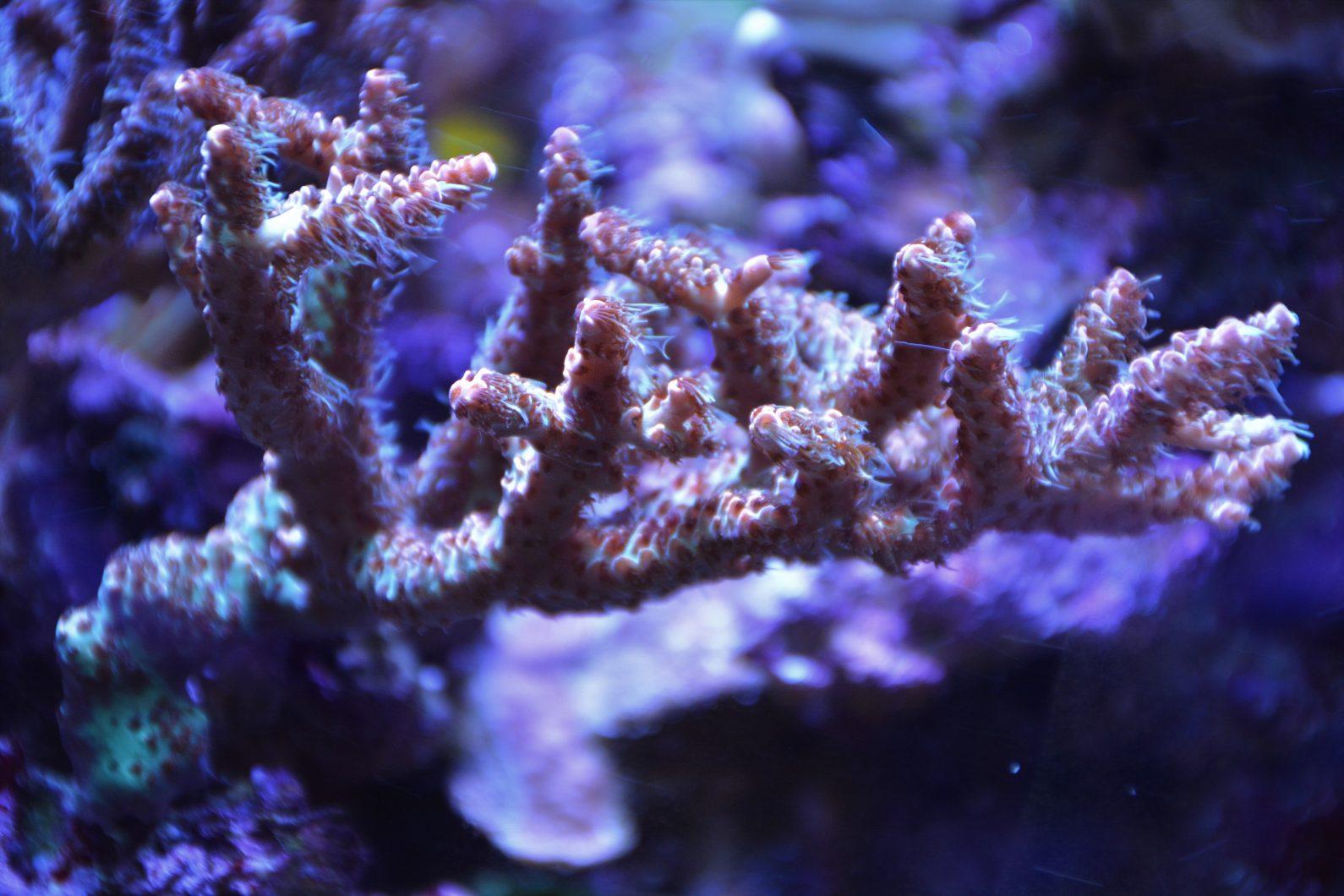iluminación del tanque de arrecife orphek