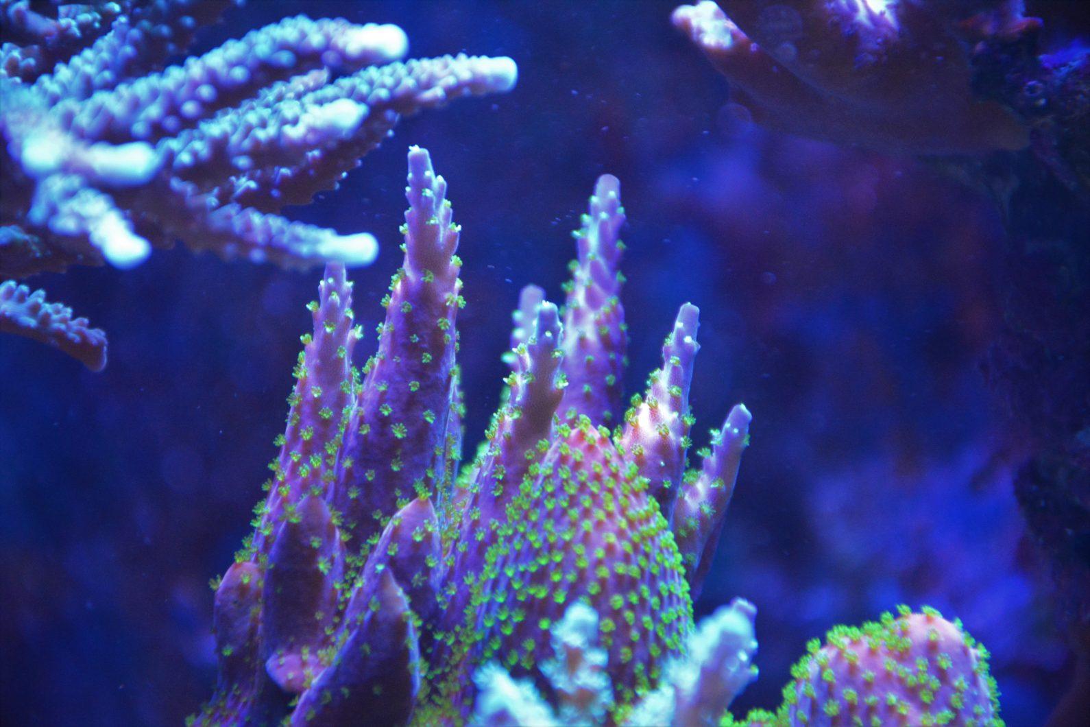 hermosa púrpura verde sps coral