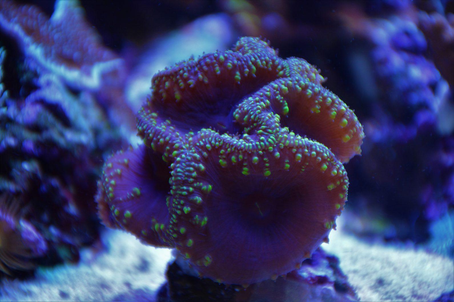 increíble coral pop por orphek atlantik