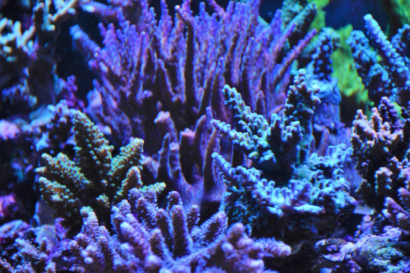 الأرجواني sps المصابيح المرجانية البوب