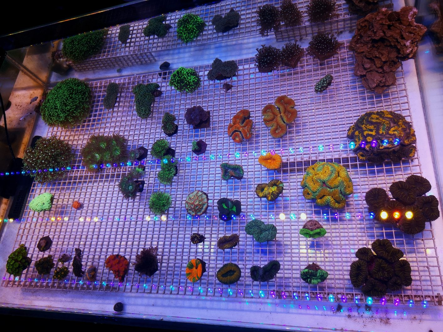 coral shop display under OR3 Blue Plus LED Bar for reef coral pop color