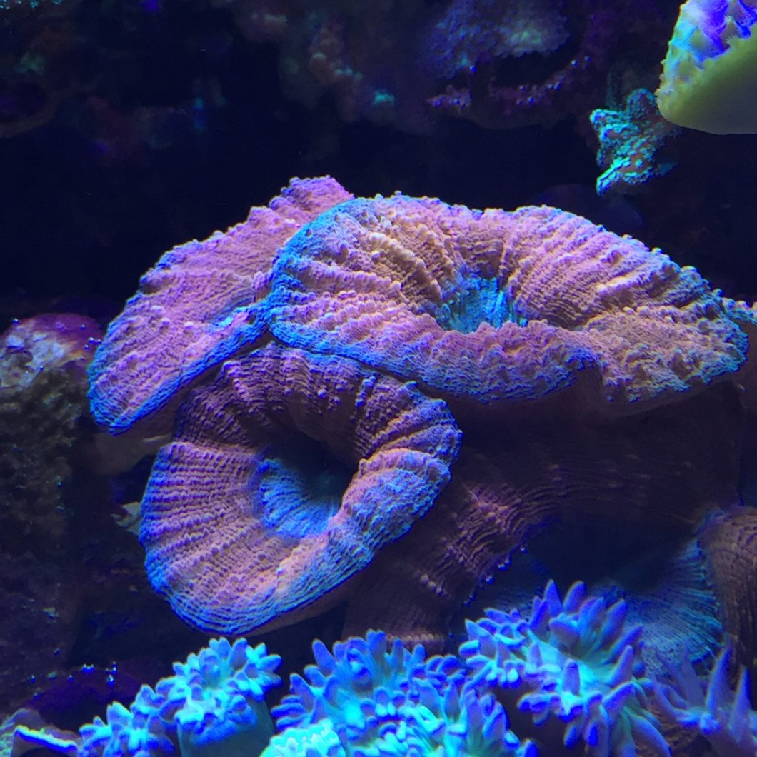 top coral pop aquariumverlichting