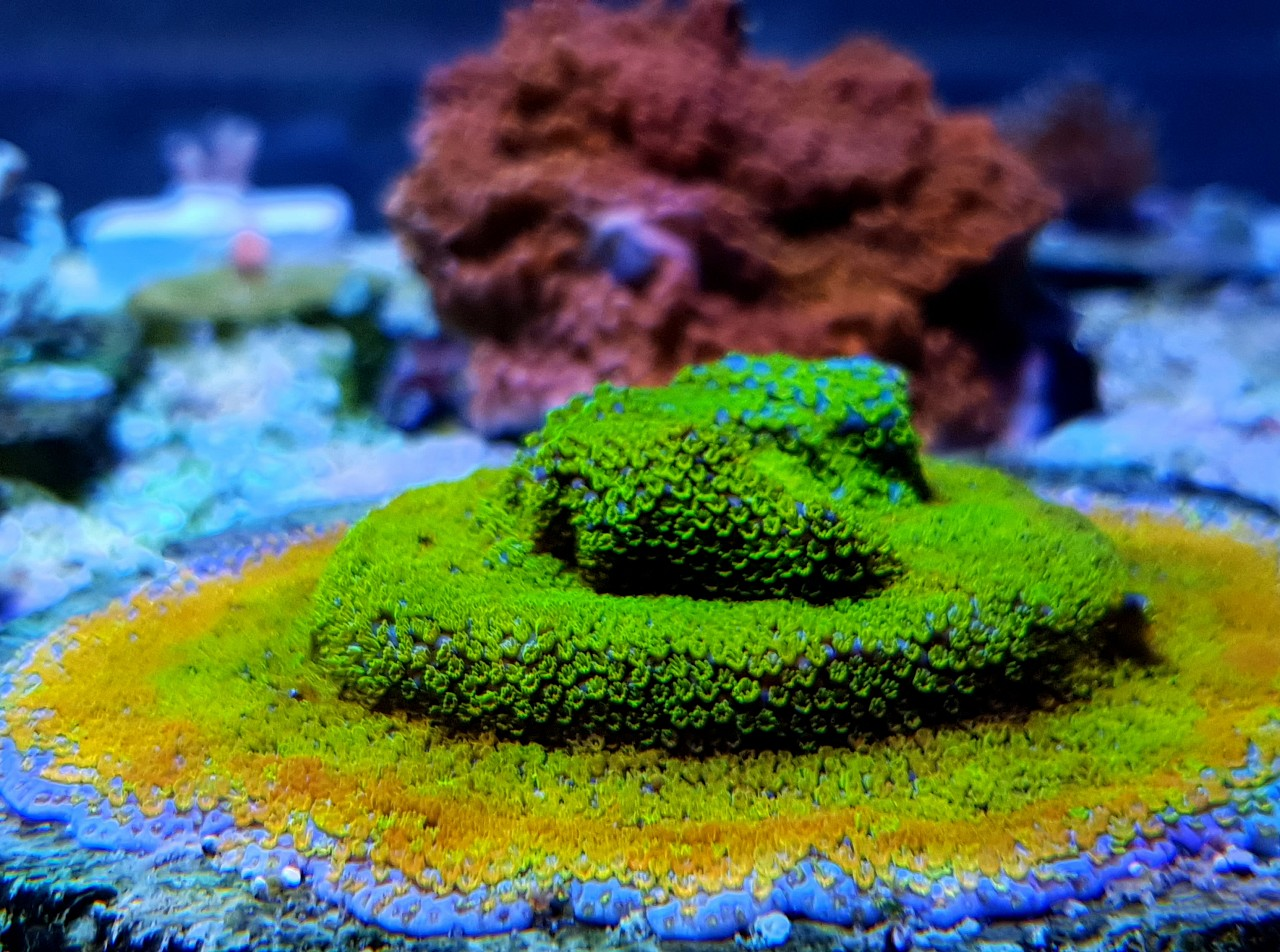 amazing yellow green coral