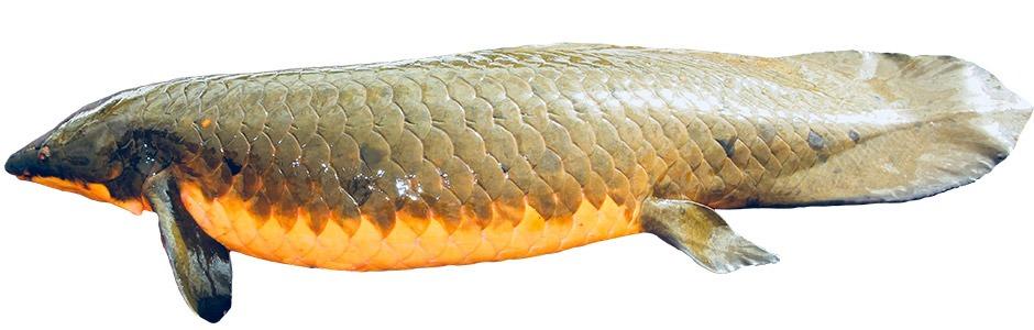 오스트 레일 리아 우기 물고기