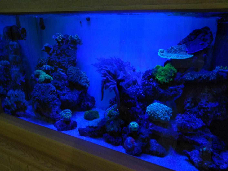 盐水礁缸珊瑚