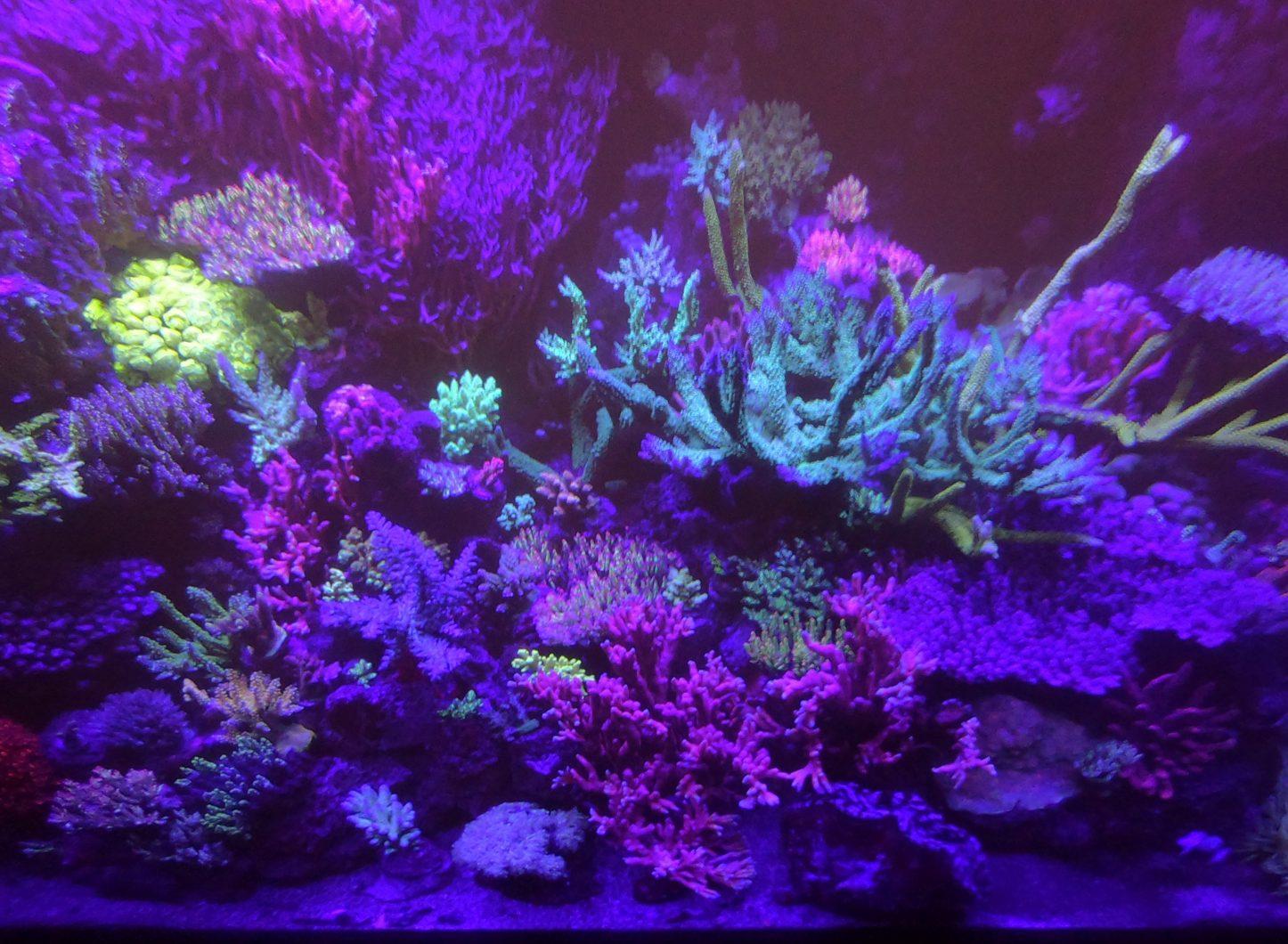 ఆర్ఫెక్ LED లైటింగ్ ద్వారా అద్భుతమైన పగడపు పెరుగుదల