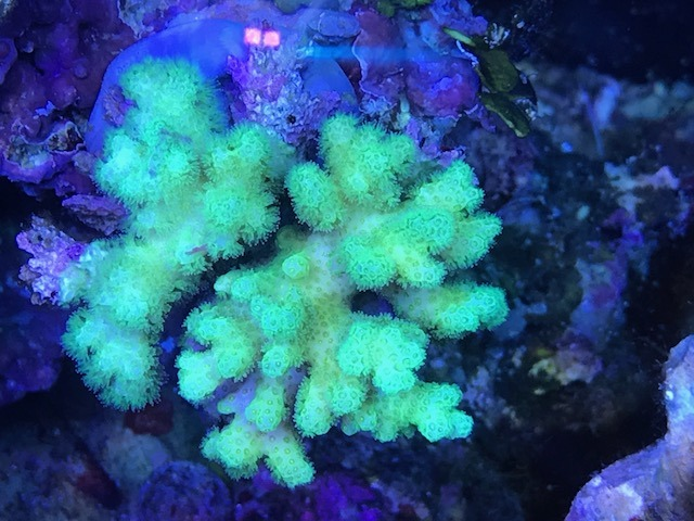美丽的绿色sps珊瑚