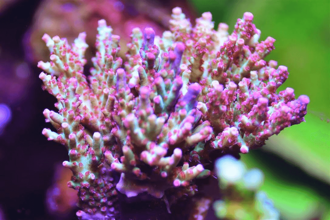 reef pink yellow sps coral