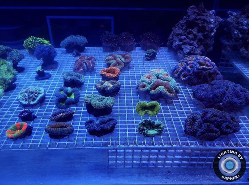 piękny wzrost koralowców LPS