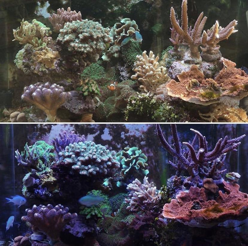 cahaya karang akuarium terbaik anak yatim atlantik v4