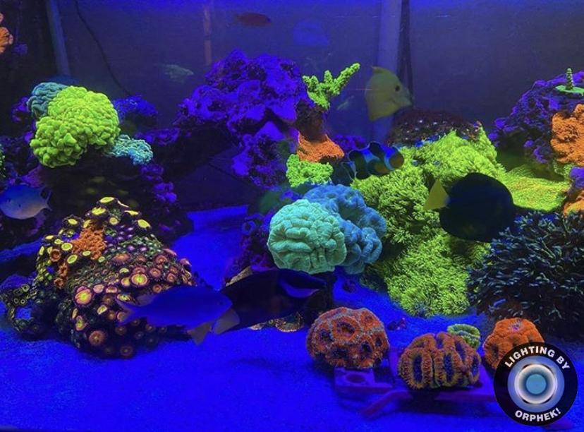 alto recife crescimento coral iluminação orphek