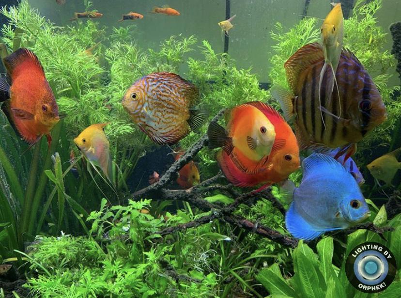 hermoso acuario de peces disco