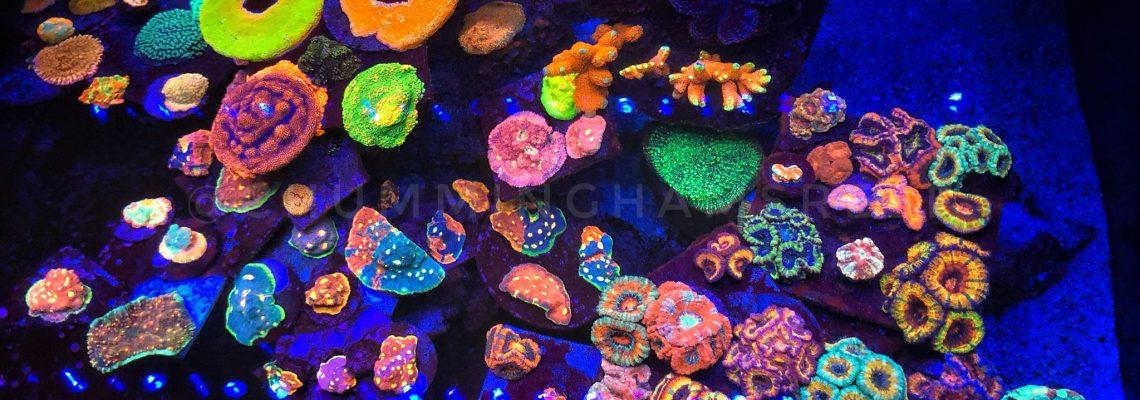 ערכת אלמוגים עם אורפק עדשה-1