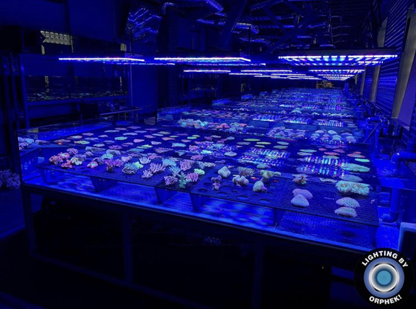 orphek atlantik tarafından inanılmaz mercan pop