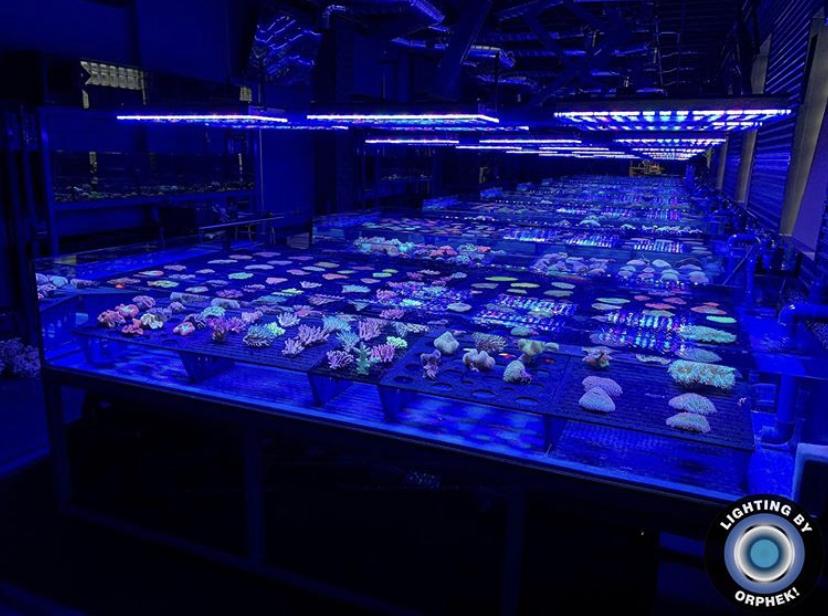 incrível coral pop por orphek atlantik