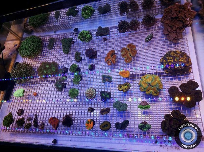 increíble tira de led de corales lps