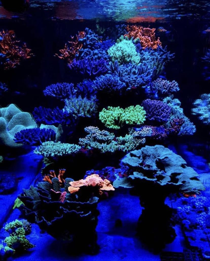 hermosos colores de los corales del tanque de arrecife