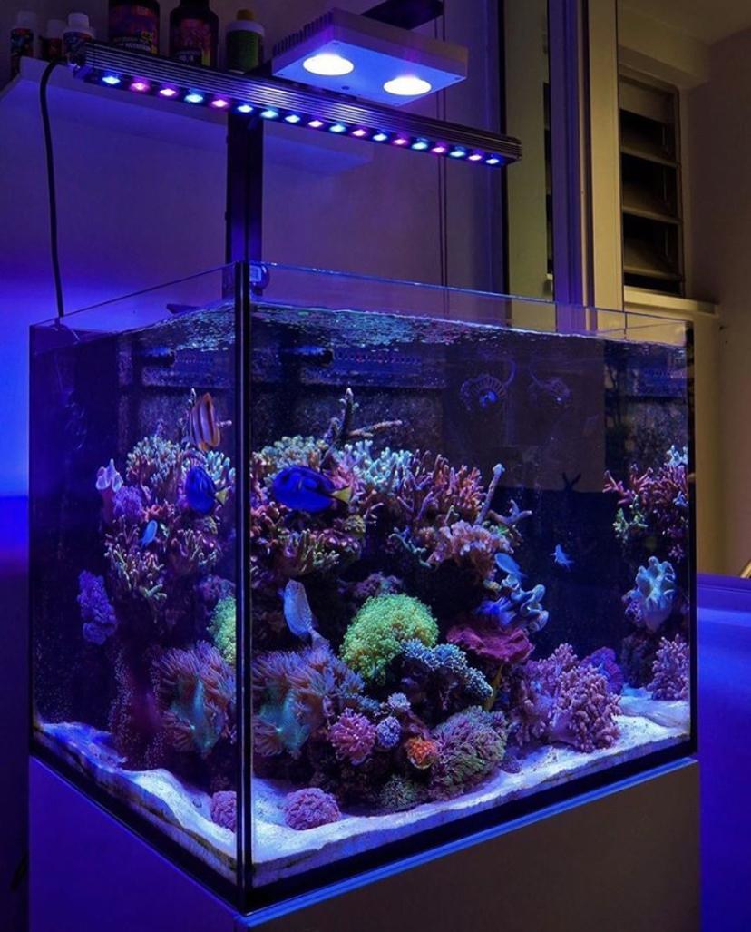vrhunski uzgoj koralja vodio bar orphek